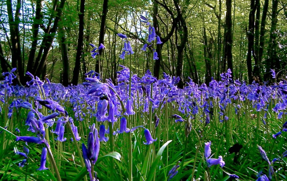 Bluebells PANORAMA