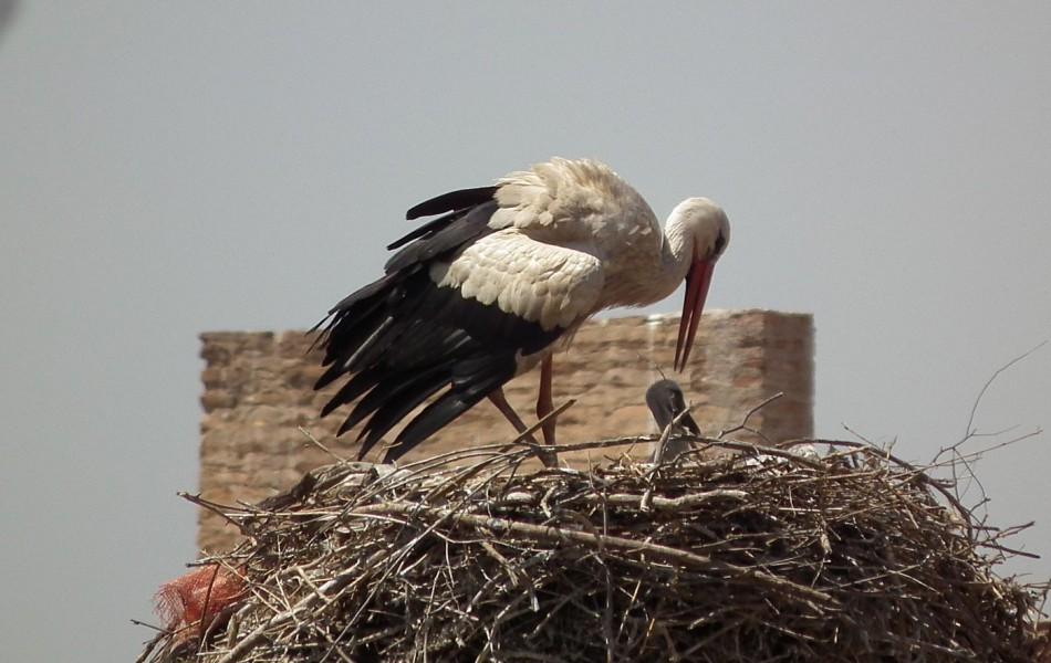 Stork feeding young